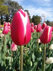 Floriade Tulip, 2004