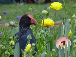 Waterfowl in Ranunculus 2002