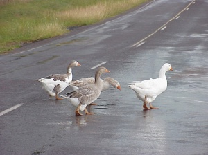 Navigating the world of man, Geese crossing a country road