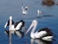 A Silver Gull takes wing Tuross Lake boat ramp, Tuross Head, NSW