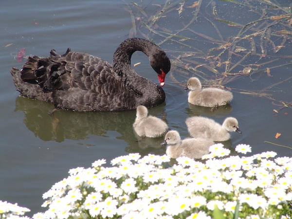 Swan family on an outing at Floriade
