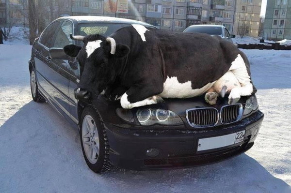 cowhood01