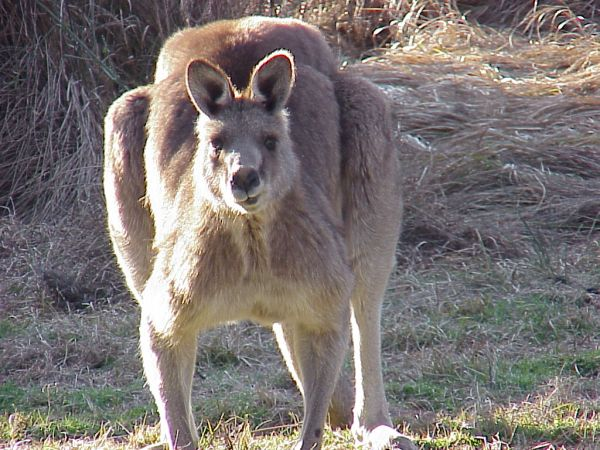 Kangaroo, Tidbinbilla