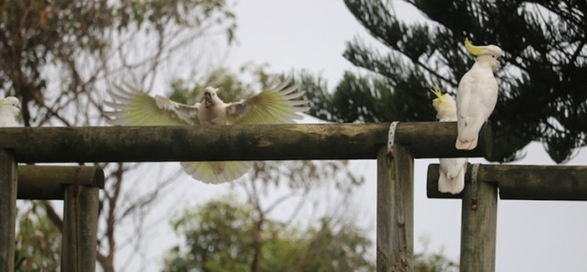 Sulfur-crested cockatoos, Tuross Head 7 November 2015