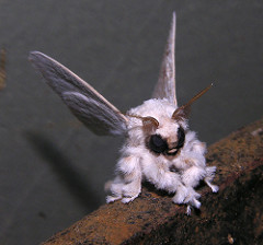 Poodle Moth by Dr Anker