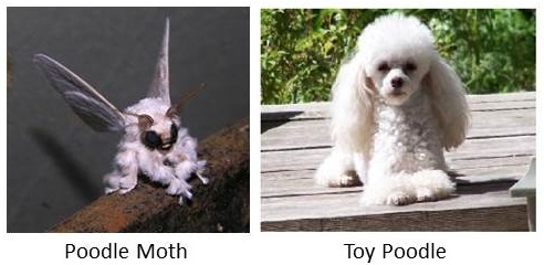 Poodle Moth and Toy Poodle