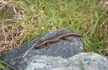 lizard_small_img_4427