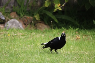 magpie_small_img_4432