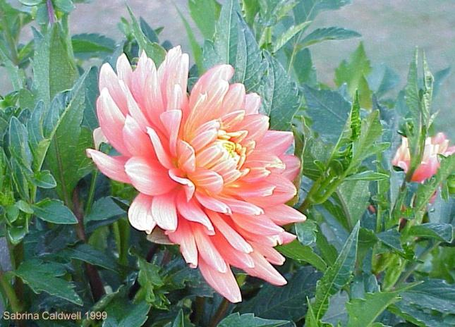 Peach-coloured Dahlia, Yea, New South Wales Australia